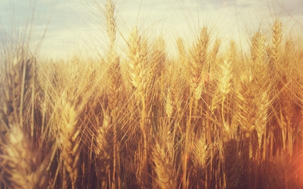 Grain-Tumblr-Wheat-Wallpaper-Desktop